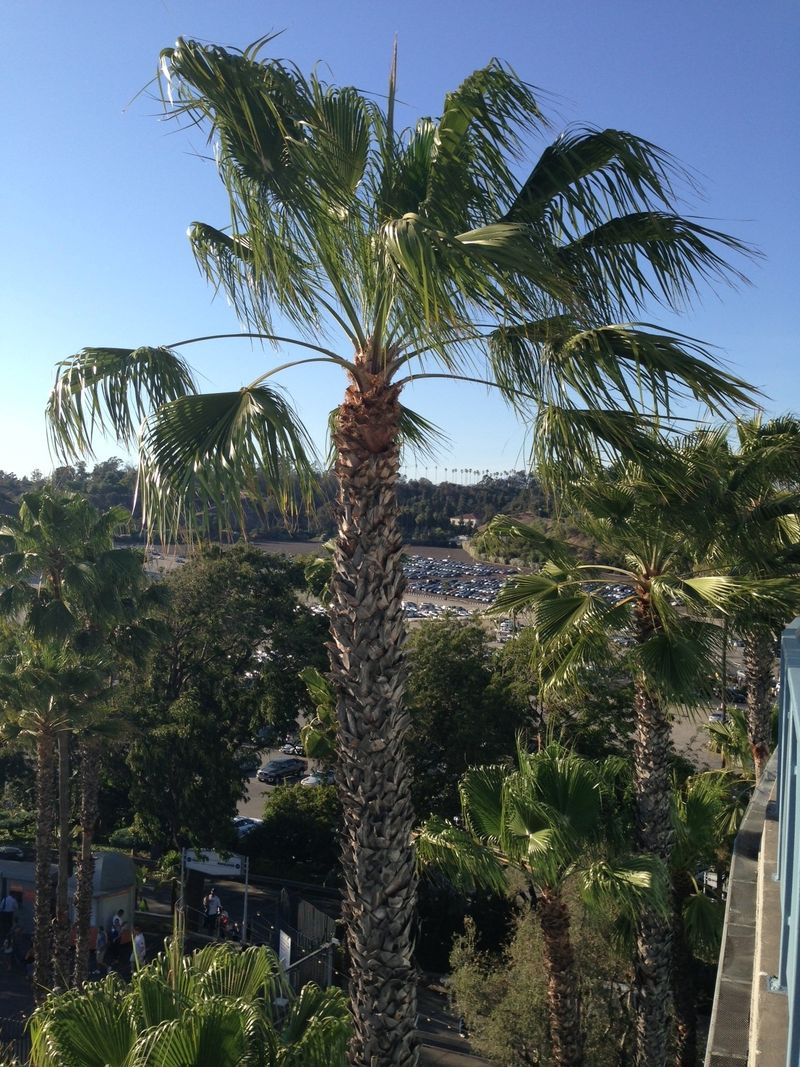 2013 Dodger Blog vs Philly game 2 LF reserve palm tree pic 2