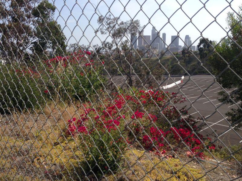 2014 Dodger Blog Ofelias plant 2